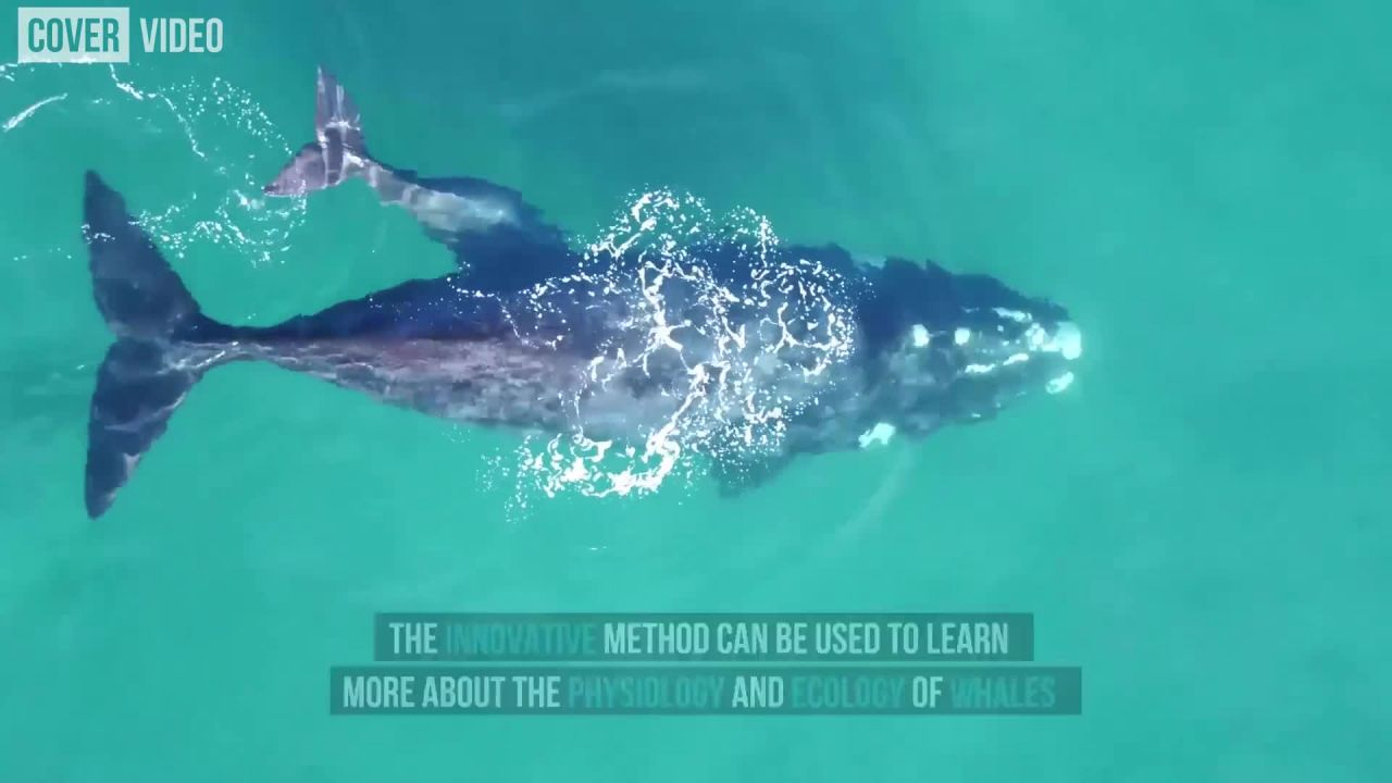 Researchers use drones To weigh whales